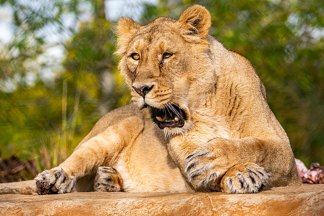 Lioness in her new enclosure