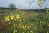Bunias erucago, Brassicales