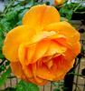 R like orange ROSE
