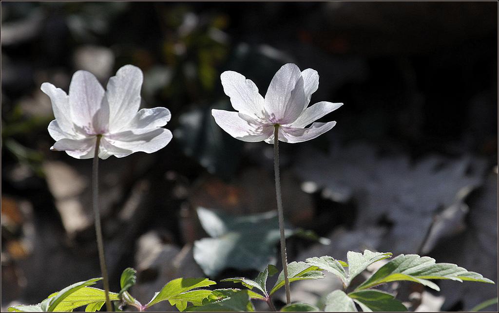 Une fleur par jour.... - Page 5 41561186.ebf3795e.1024