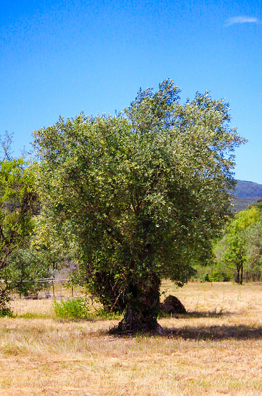 Just an Olive Tree