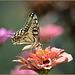 Zinnia - Papilio machaon