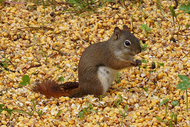 Wisconsin Squirrel