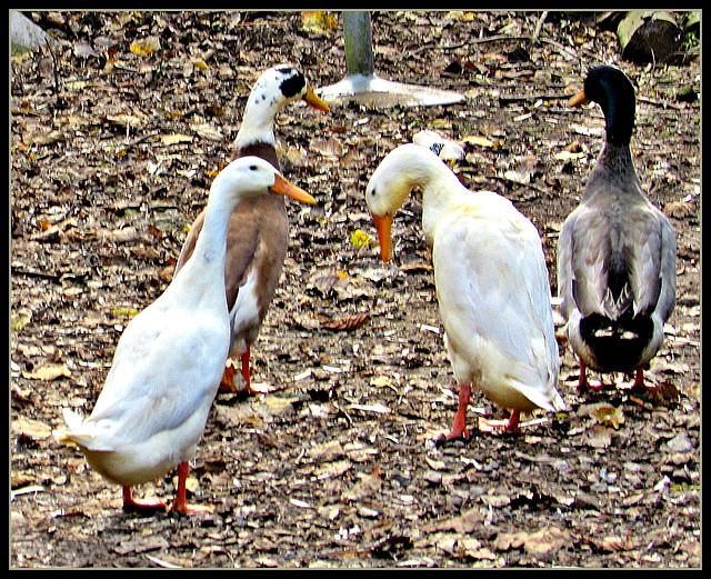 Four Ducks.