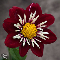Pictures for Pam, Day 38: Burgandy & White Pinwheel Dahlia