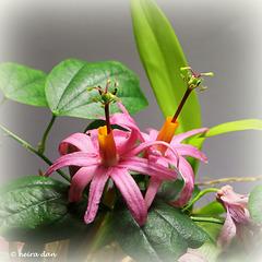fleurs du jour- Passiflora tulae.... spéciale dédicace aux personnels de santé