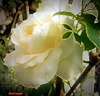 Una rosa bianca  per Franco Battiato