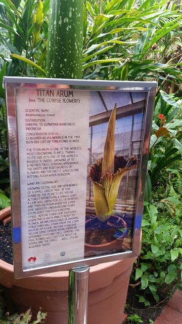"Titan Arum ""The corpse flower"""