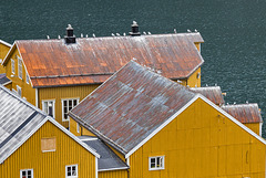 yellow houses in Nusfjord