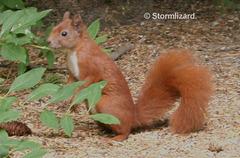 Eurasian Red Tree Squirrel (Sciurus vulgaris) Miss Copper-tail J03 01