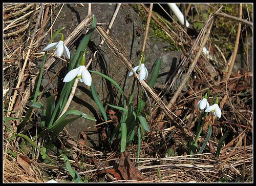 Fleurs Apres Perce Neige Au Jardin Forum De Jardinage