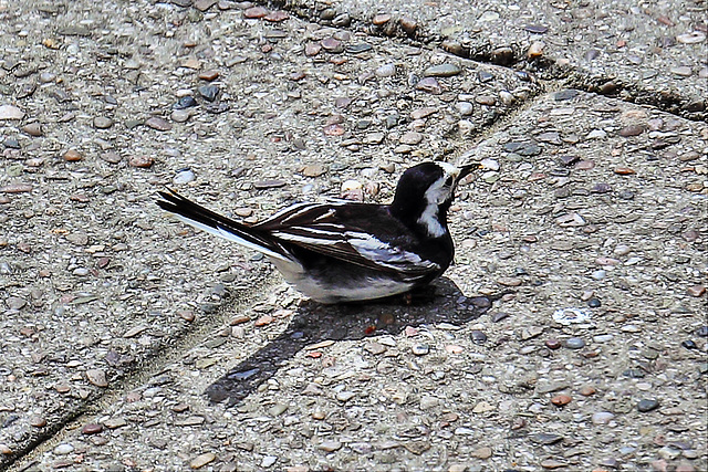 EOS 60D Unknown 11 28 12 0532 PiedWagtail dpp hdr