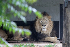 Asiatischer Löwe (Wilhelma)