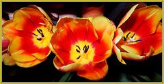 Tulipa gesneriana.