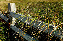 Coast grass