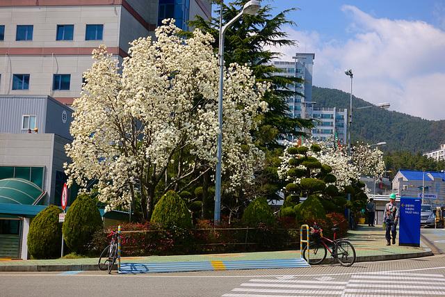 Spring blossom in Okpo