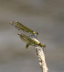 Prachtlibellen auf einem Grashalm