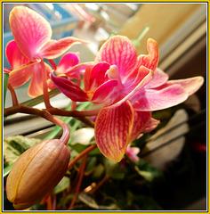 Phalaenopsis auf der Fensterbank 02