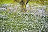 """""""Un tappeto di fiori"""" or Just colour left after the snow"""