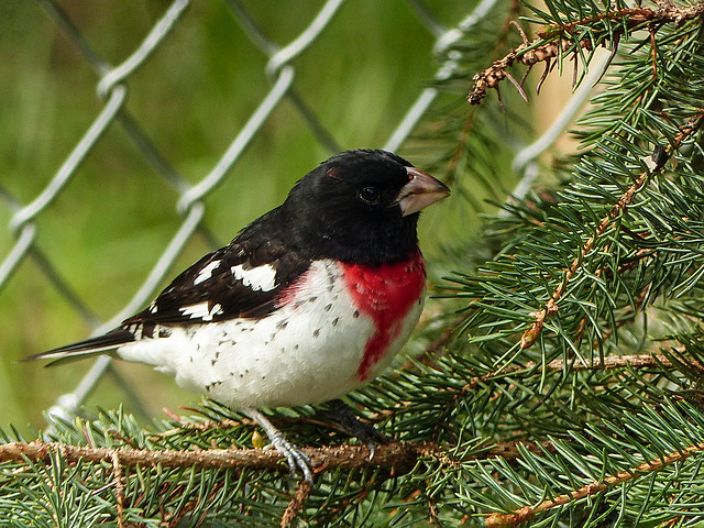 Rose-breasted Grosbeak from the archives