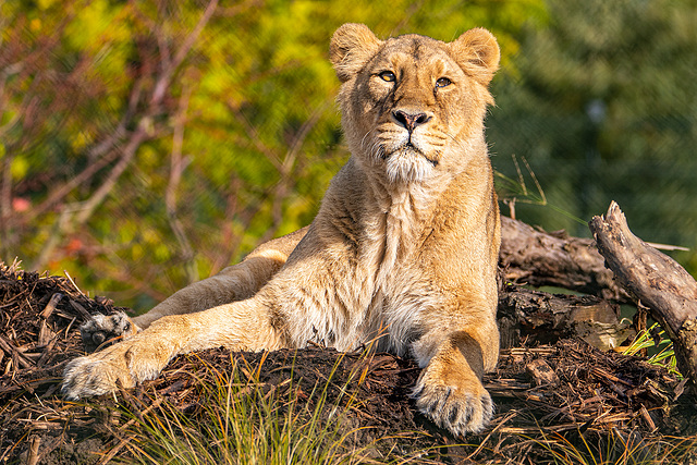 Lioness on her new territory