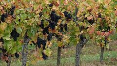 Pinot noir d'Alsace aux feuilles d'Automne