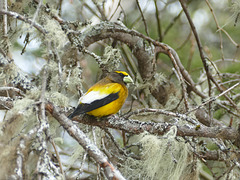 Day 9, Evening Grosbeak, Tadoussac, Quebec