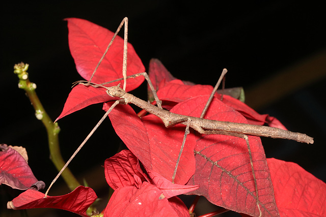 IMG 7864Stickinsect