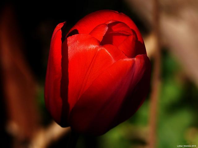 Tulpe am Abend...