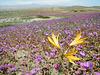 Actualité du jour, enfin une bonne nouvelle : le Désert d'Atacama au Chili se transforme en champ de fleurs