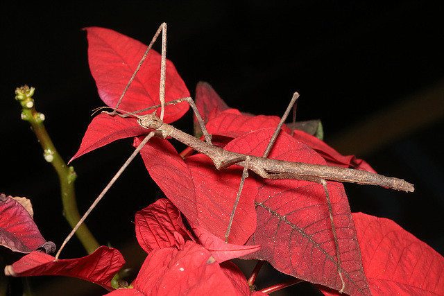 IMG 7865Stickinsect