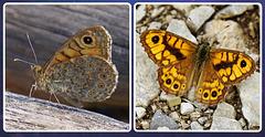 Der Mauerfuchs - Lasiommata megera - The Wall Brown