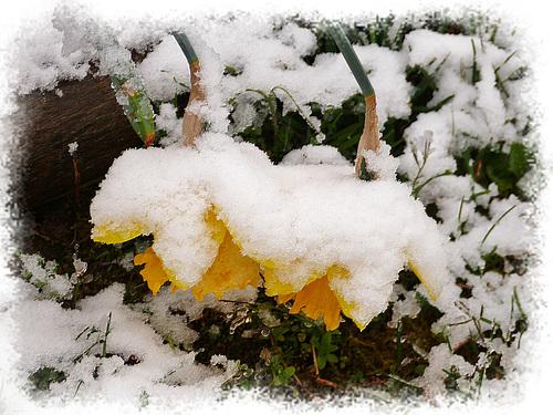 Les noces blanches du printemps (2)