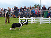 Sheep dog successfully herding ducks into a pen, Betley Show, Staffordshire.