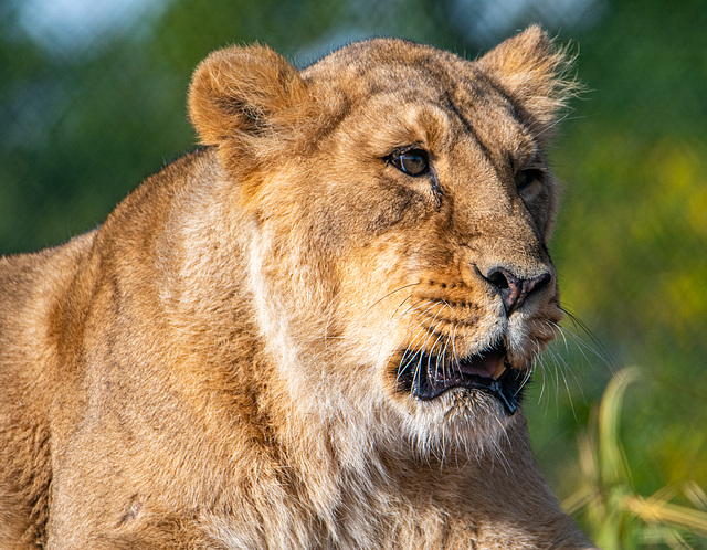 Lioness at Chester Zoo