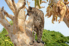 Namibia, The Otjitotongwe Guest Farm, Cheetah on a Tree