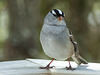Day 6, White-crowned Sparrow, Tadoussac