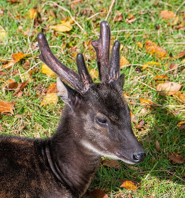 Phillipine spotted deer