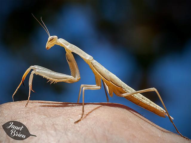 """17/366: Praying Mantis: """"Take me to your leader!"""""""