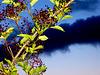 Elderberry..
