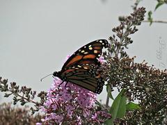 Monarch ..