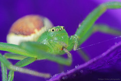 L'araignée crabe