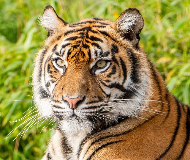 Tigress close up
