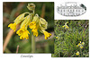 Cowslips at Stanmer Park - 1.4.2016