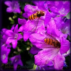 Harmlose Schwebfliegen, neben den Bienen wichtige Bestäuber