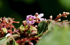 1T0A7365- fleur de carambolier