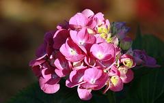 Dernières fleurs d'hortensia