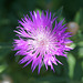 Wiesenflockenblume II