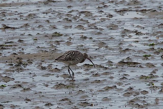 20140907 4816VRAw [NL] Großer Brachvogel (Numenius arquata), Terschelling