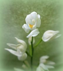 una piccolissima orchidea spontanea